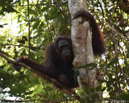 Update on Borneo Orangutan Survival (BOS) Australia